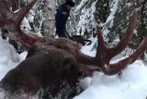 Убитый на охоте лось