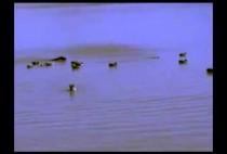 Плавающие утки