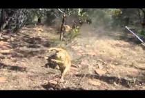 Убитый лев
