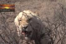 Лев атакует