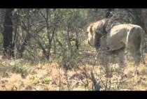 Лев в прерии