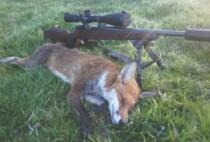 Винтовка рядом с убитым лисом
