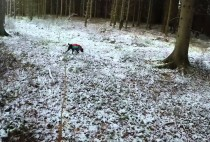 собака преследует косулю на охоте