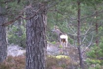 Косуля кормится в лесу
