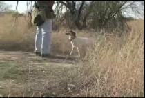Собака и охотник ищут перепела