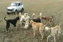 Собаки поймали волка