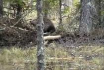Бобры в лесу