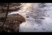 Бобр плывет по реке