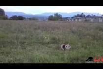 Собака рыщет по лугу
