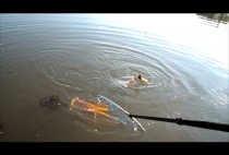 Рыбак вытаскивает карпа из воды