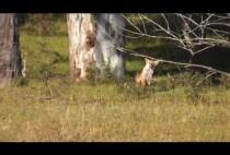 Лиса выходит на поляну
