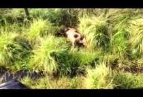 Кабан в траве