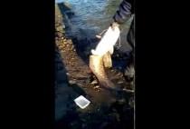 Рыбак вытаскивает сома из реки