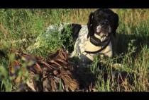 Легавая собака держит перепела