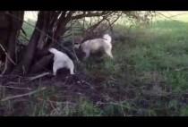 Лайка охотится на барсука