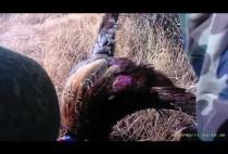 Охотник несет добытого фазана