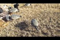 Гусиные чучела на поле