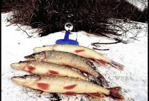 Пойманные рыбаком щуки на льду