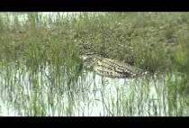 Крокодил ползет на берег