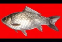 Рыба-карась на красном фоне