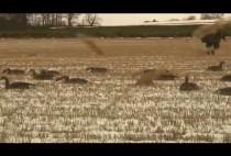 Гуси пролетают над полем