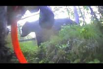 Лайка бежит за медведем