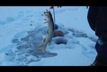 Рыбак достает щуку из проруби