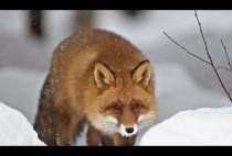 Лисица крадется по снегу