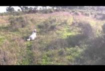 Собака ищет фазана на поле