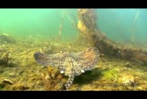 Рыба -скат на дне море