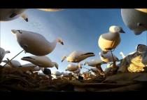 Чучела гусей на поле