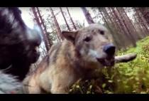 Волк нападает на собаку