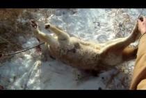 Пойманный охотником волк