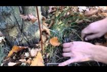 Охотник устанавливает капкан на лису