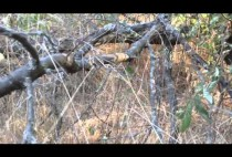 Капкан на фазана