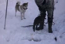 Охотник достает бобра из капкана