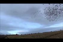 Гуси заходят на посадку