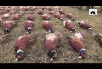 Добытые охотниками фазаны