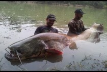 Рыбаки демонстрируют сома