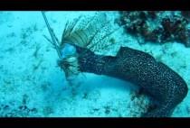 Мурена ест рыбу
