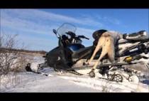Добытый волк на снегоходе