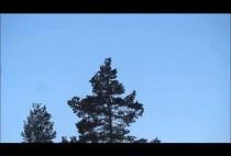 Тетерев на дереве