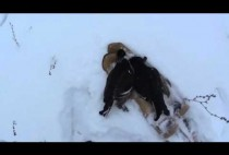 Добытый охотников тетерев на снегу