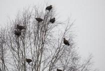 Тетерева на дереве