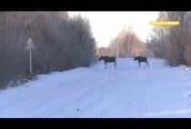 Лоси идут через дорогу