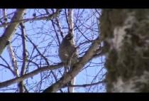 Рябчик на дереве