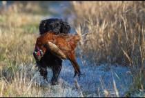 Спаниель несет фазаан