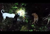 Гавайские собаки окружили кабана