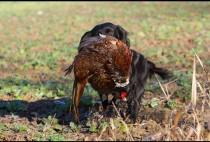 Спаниель несет фазана
