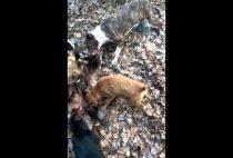 Собаки дерут барсука
